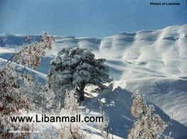 Cedars photo by Hala Tahouf